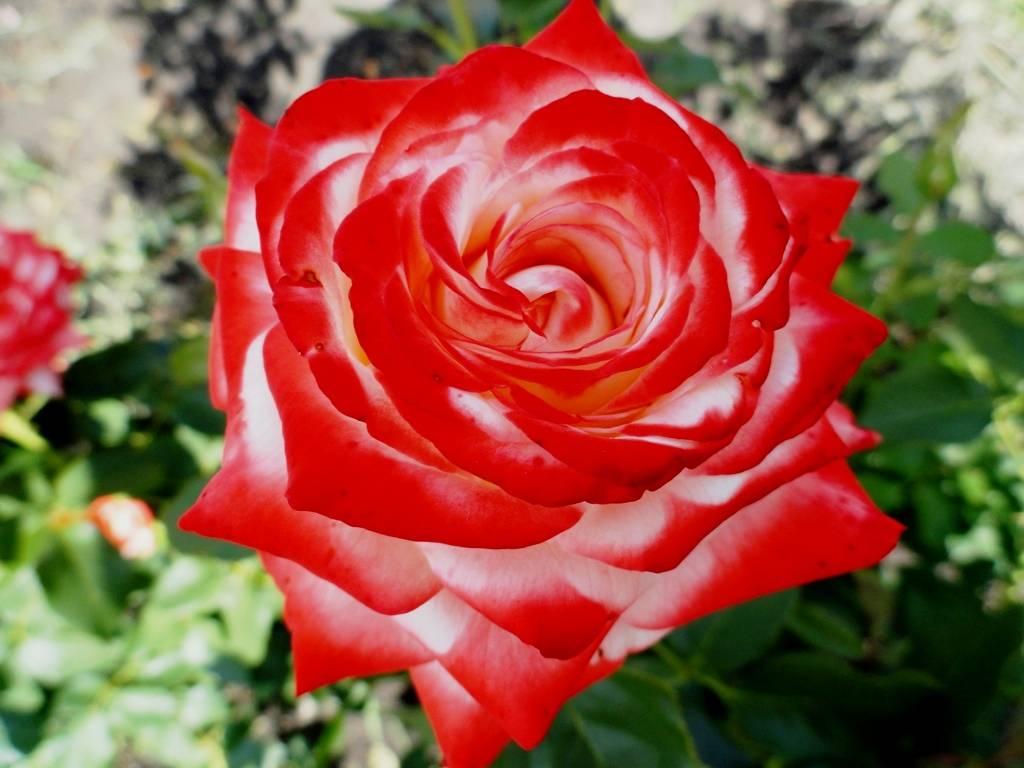 Роза императрица фарах: фото и описание сорта