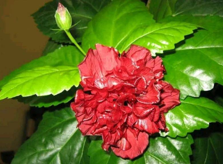 Жемчужина сада — штамбовая роза: правильная посадка и грамотный уход за растением