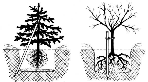 Посадка деревьев и кустарников, совместимость деревьев в саду