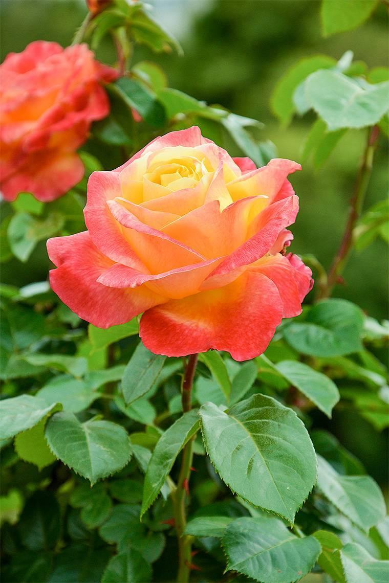 Описание чайно-гибридной розы восточный экспресс (пульман ориент): особенности || роза чайно гибридная восточный экспресс