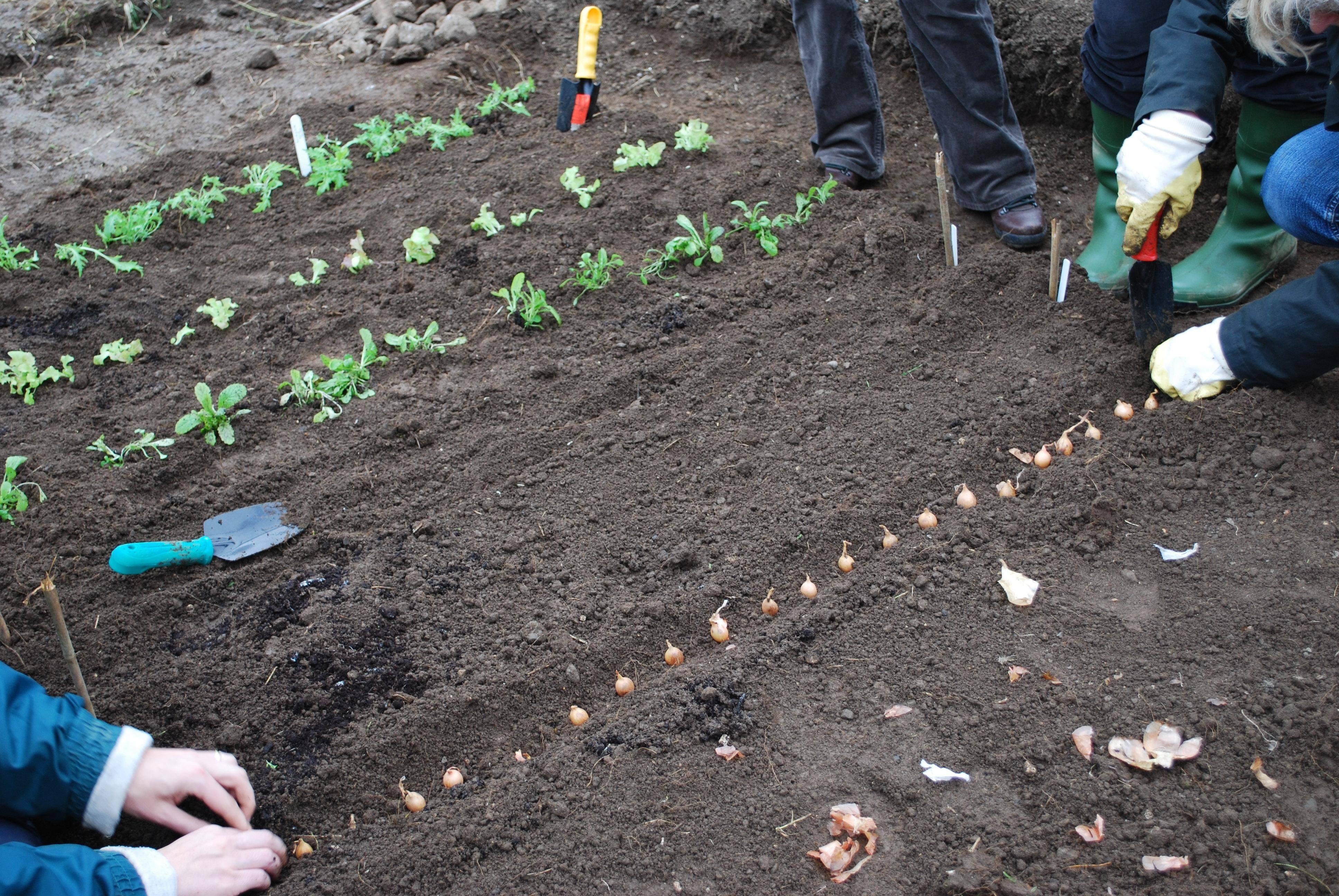 Каллы в саду: посадка и уход, популярные сорта с фото