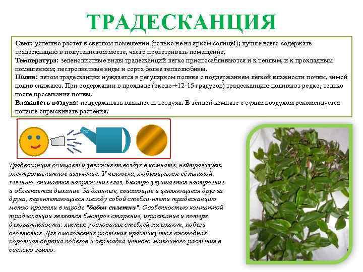 Традесканция размножение и выращивание традесканции из черенков