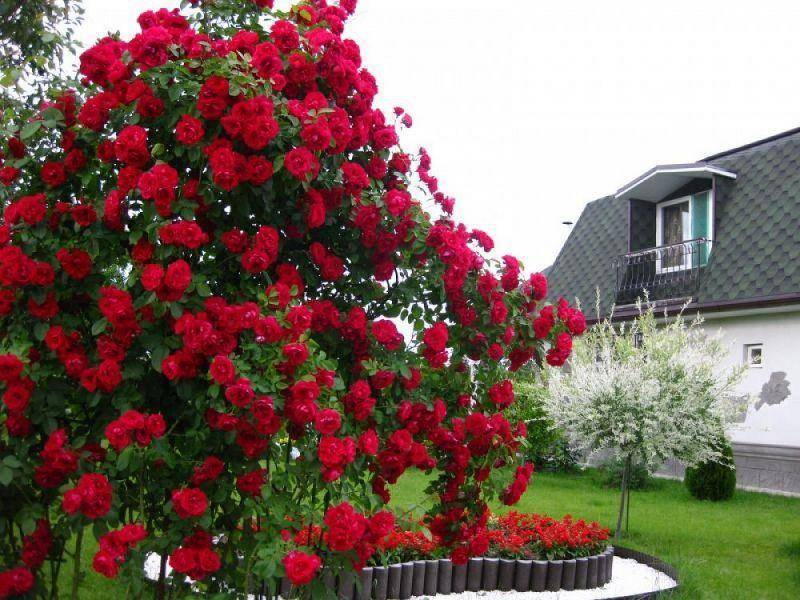 Как выращивать плетистую розу дон жуан: посадка цветка и уход в открытом грунте