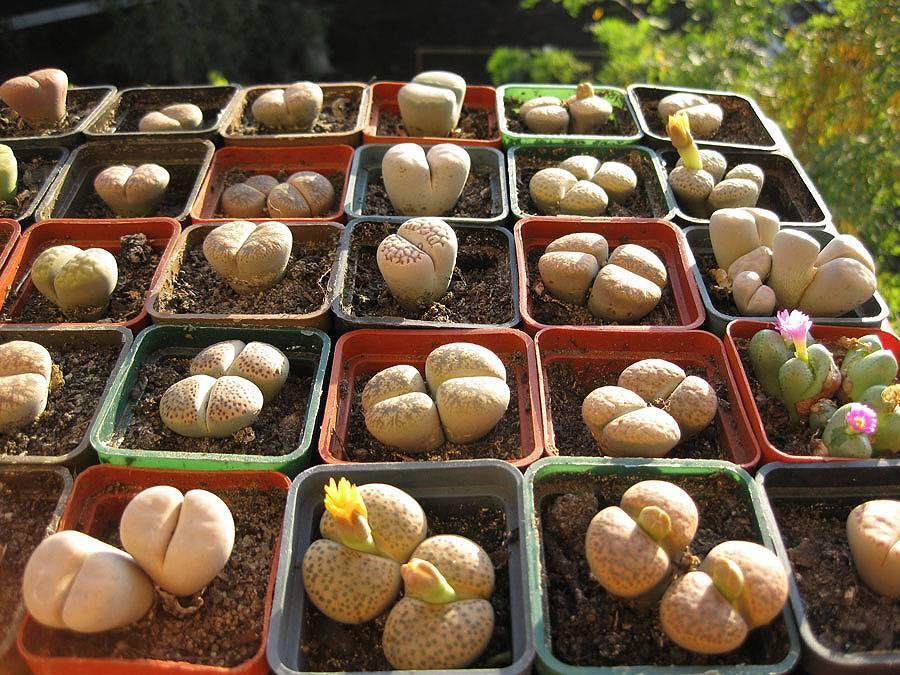 Фуопсис: посадка и уход, выращивание, размножение, описание, фото - читайте на орхис