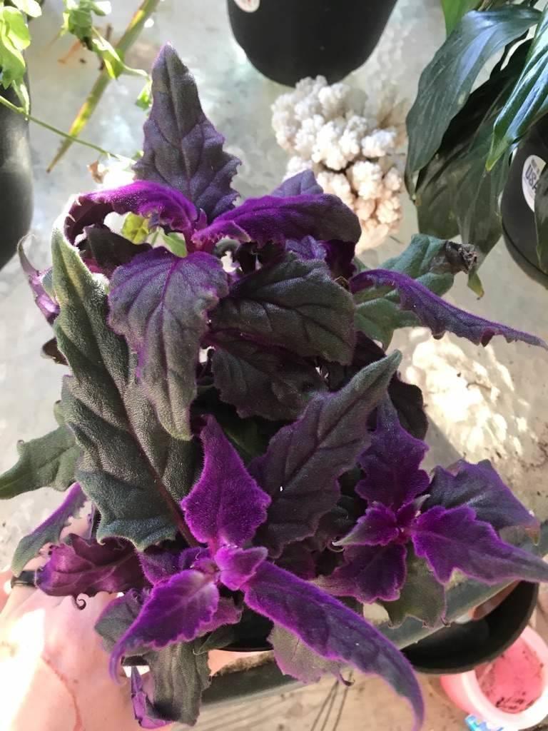 Гинура: как вырастить пушистый цветок в домашних условиях