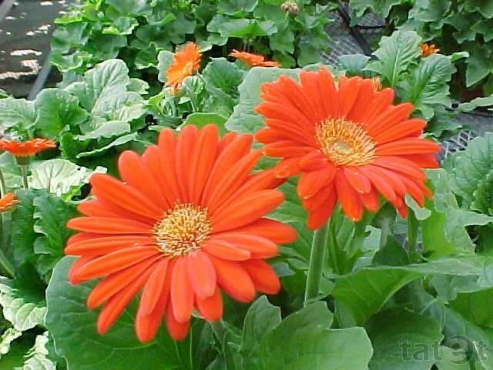Цветок гербера: описание и виды на фото