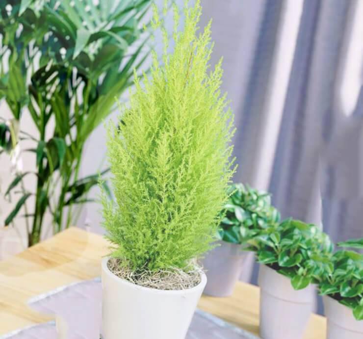 Кипарисовик новогодний: правила посадки и ухода в домашних условиях. до каких размеров вырастает цветок в горшке? можно ли высадить его в открытый грунт на даче?