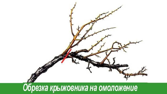 Обрезка крыжовника осенью, весной, летом: схемы для начинающих