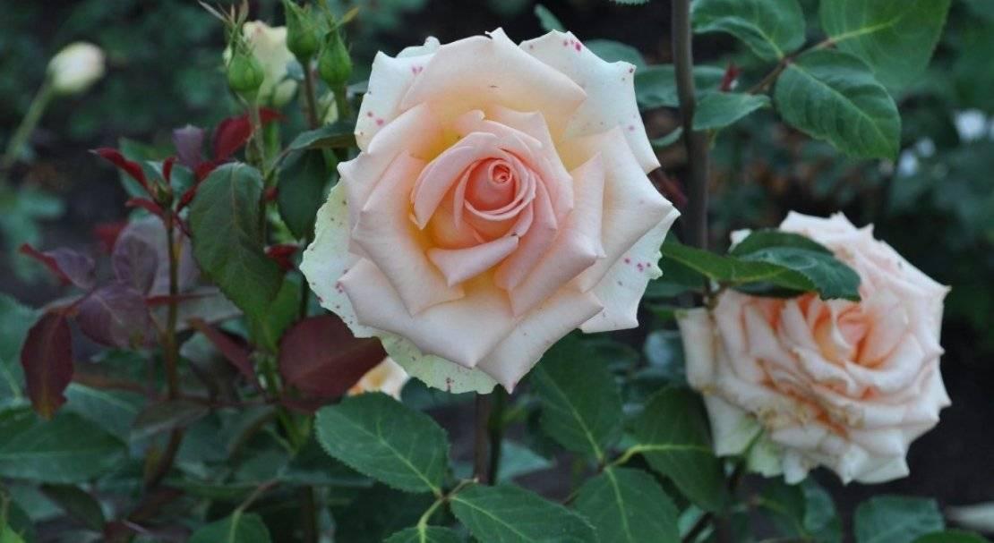 Особенности чайно-гибридной розы блэк баккара: что это за бархатный сорт