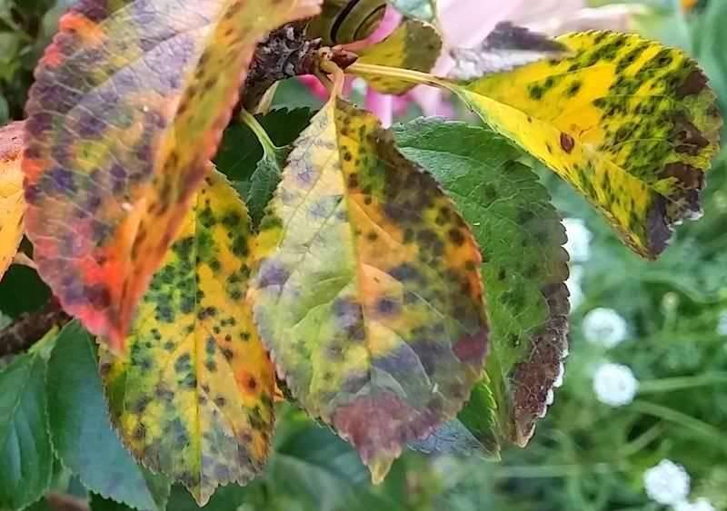Почему желтеют листья у клеродендрума и что делать, если они опадают: как спасти растение, какие профилактические меры необходимы, а также другие болезни цветка