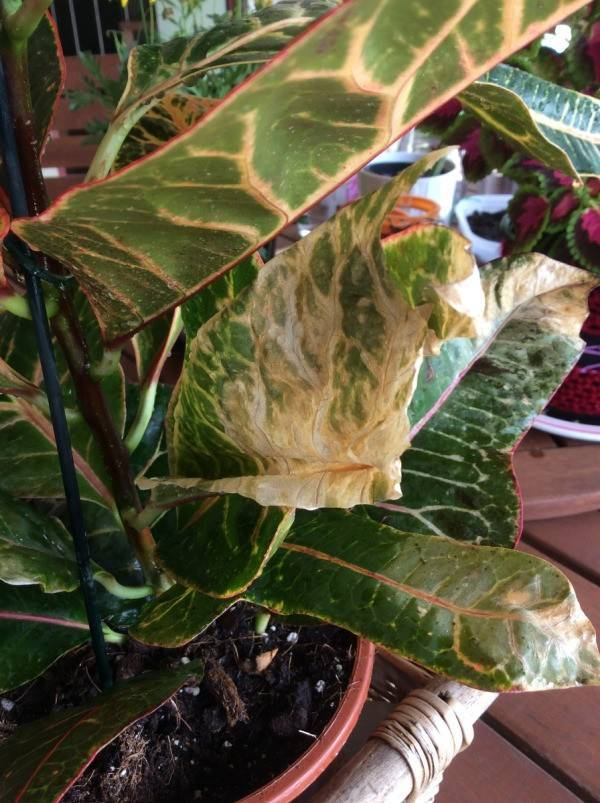 Цветок кротон: уход в домашних условиях, полив, пересадка и размножение