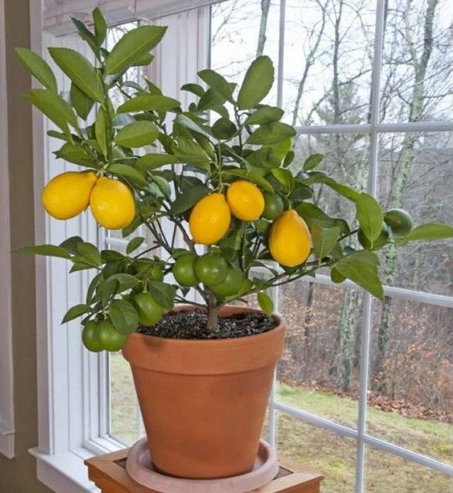 Дерево комнатный лимон: описание плодов, выращивание, уход в домашних условиях, размножение черенками