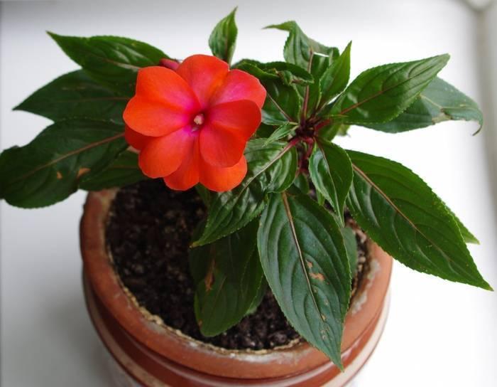 """Бальзамин комнатный: фото цветка импатиенс или домашнее растение """"ванька мокрый"""", как выглядит, описание, а также родина огонька"""
