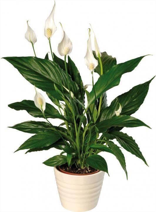Почему не цветет спатифиллум («женское счастье») и как правильно за ним ухаживать?