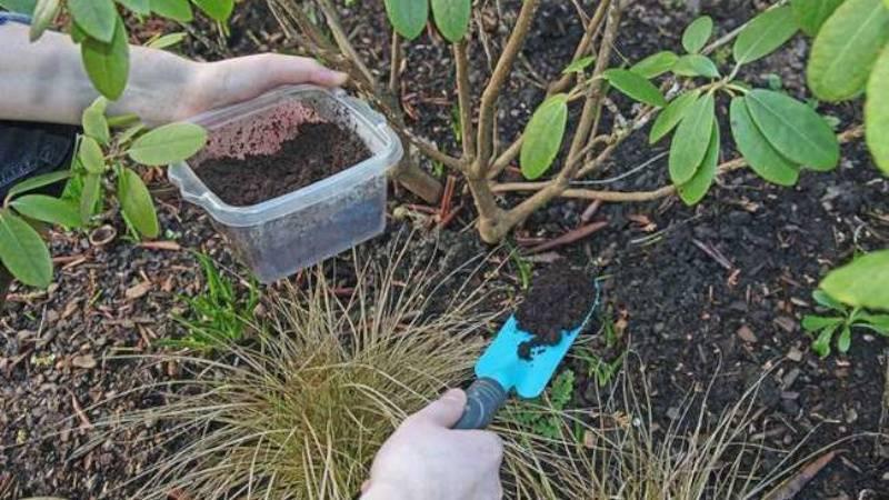 Цветок эремурус посадка и уход в открытом грунте выращивание из семян фото разновидностей