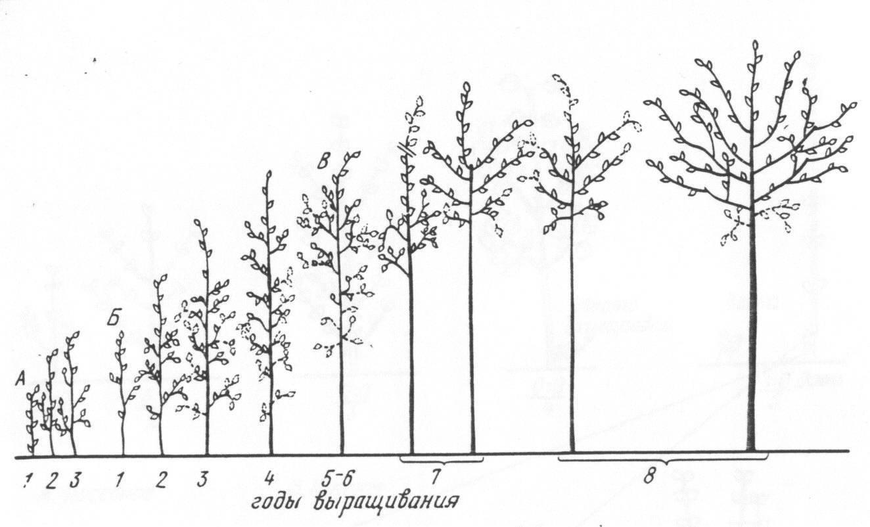 Описание и выращивание дейции строуберри филдс