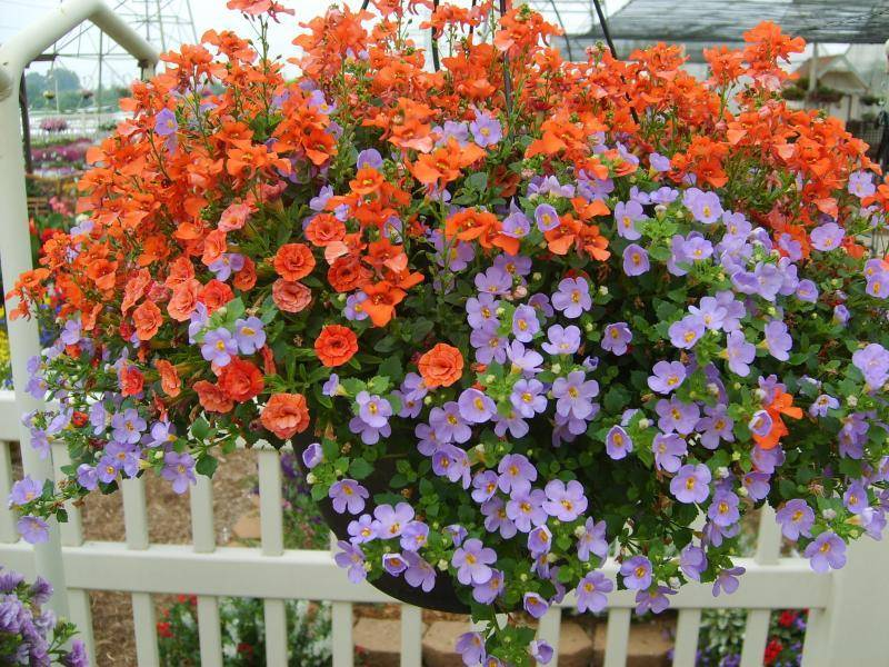 Многолетние ампельные растения: диасция, бегония, бакопа, барвинок
