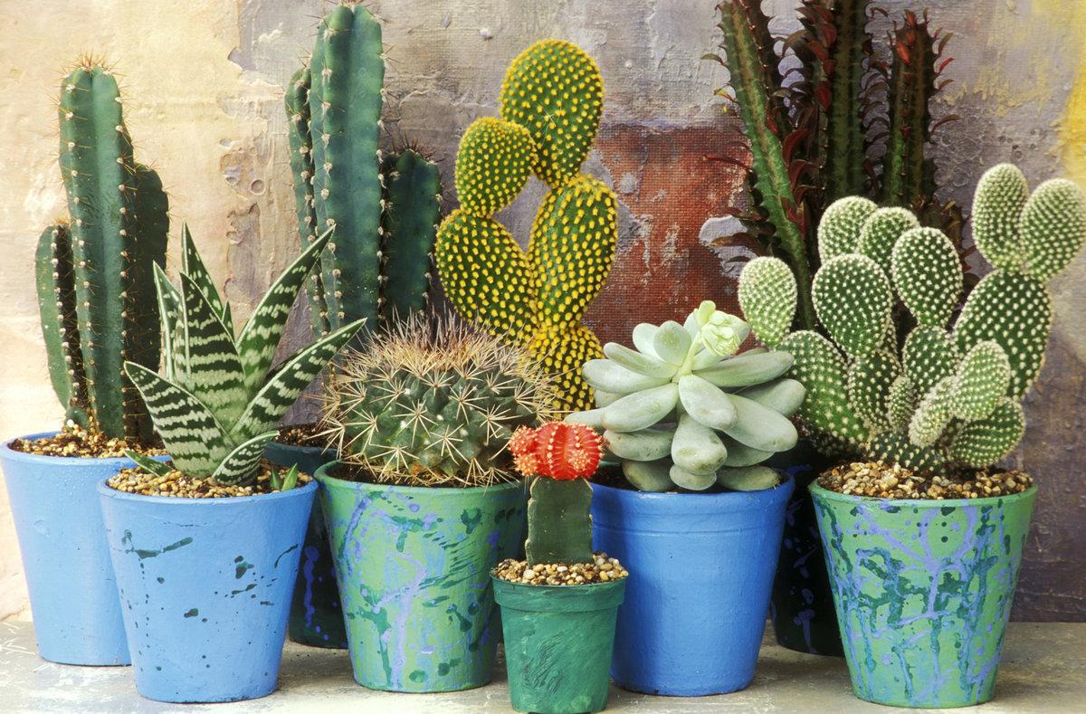 виды домашних кактусов фото и названия красиві привітання