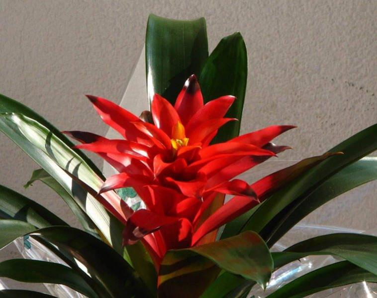 Бромелиевые комнатные растения (25 фото): прицветниковый ананас и цветок бромелия, гузмания и другие роды и виды