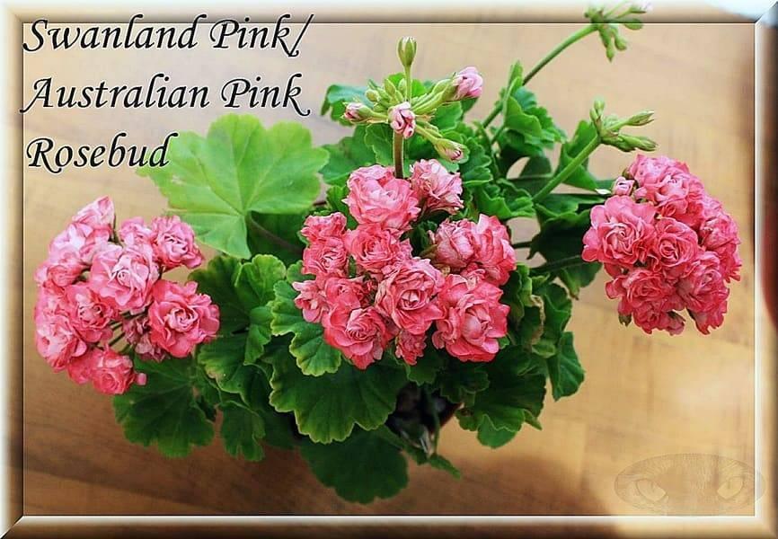 Внешнее описание и особенности ухода за пеларгонией австралиан пинк розебуд