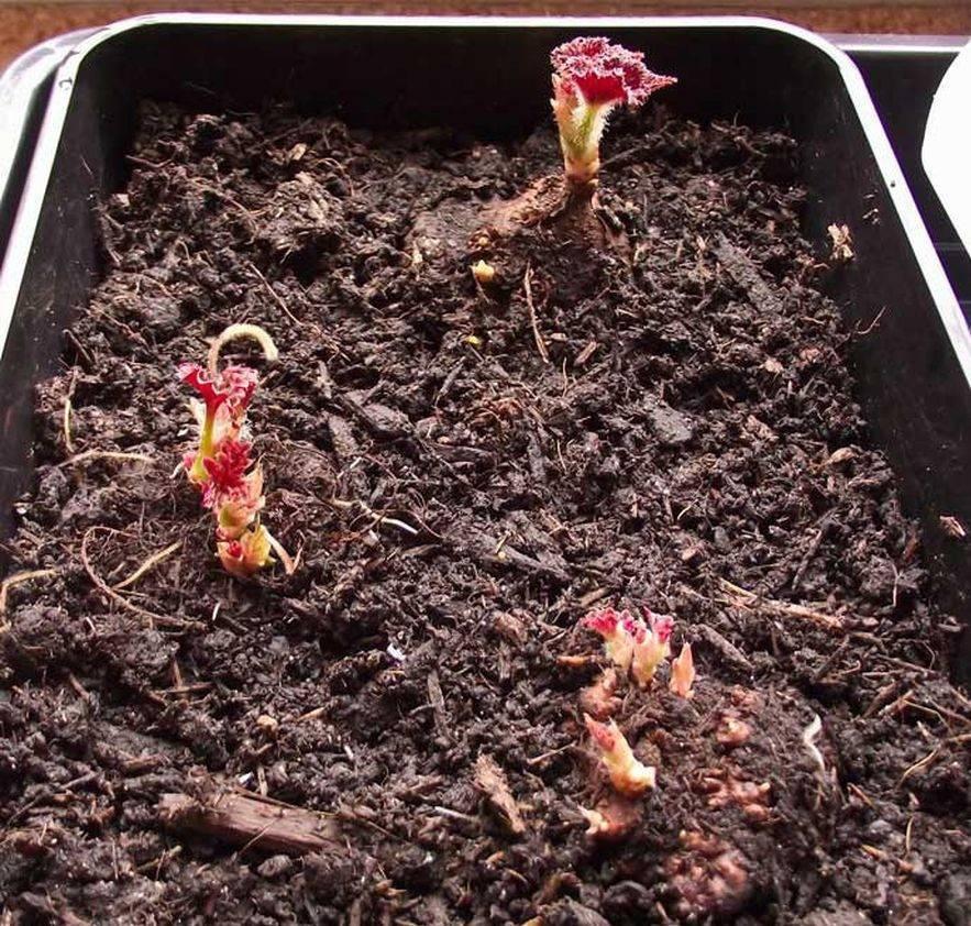 Бегония из семян в домашних условиях — посев и выращивание