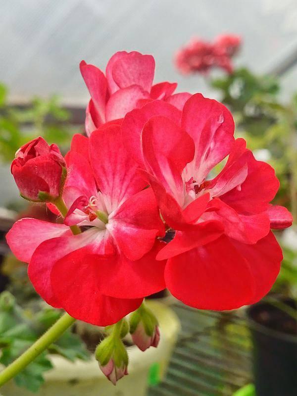 Леди гертруда пеларгония: фото цветка, уход за ним, размножение и профилактика болезней