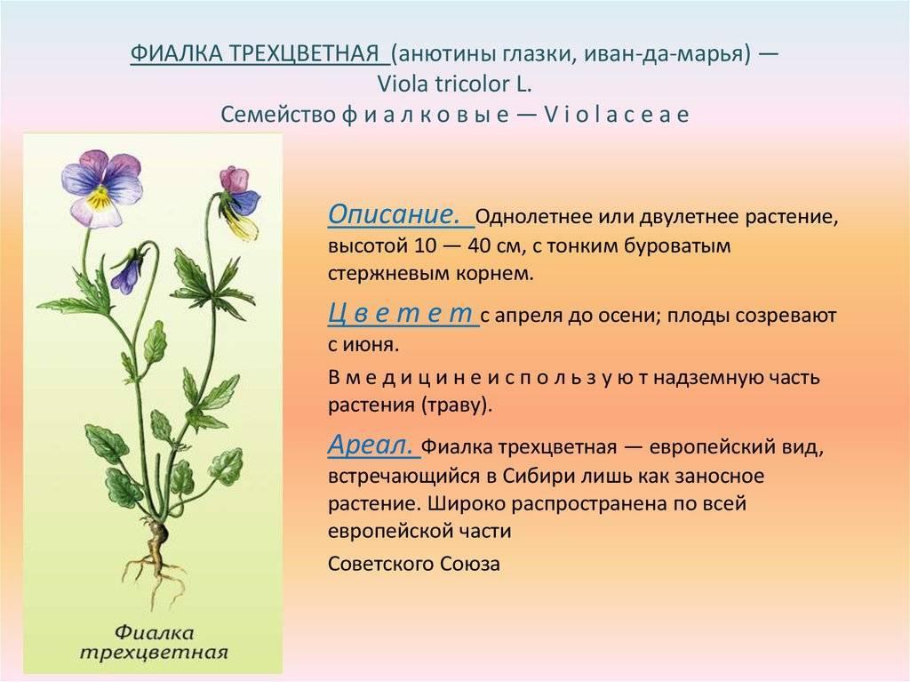 Фиалка трехцветная: лечебные свойства и применение