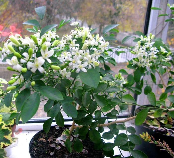 Муррайя - уход и выращивание из семян