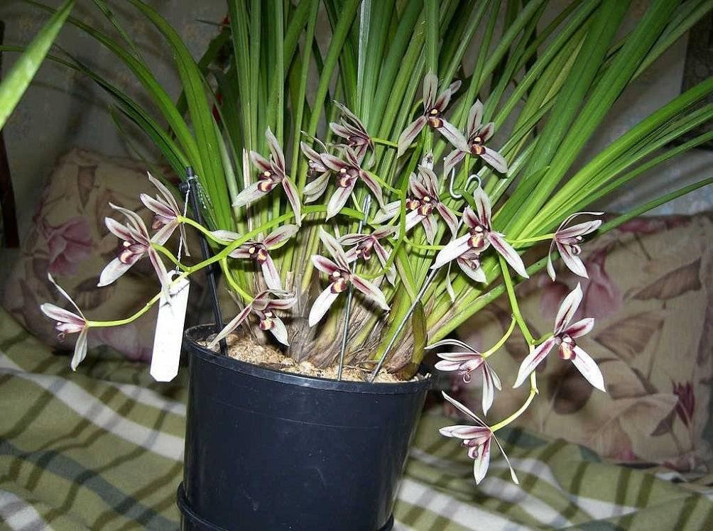 Орхидея цимбидиум: уход в домашних условиях, пересадка, размножение и особенности цветения