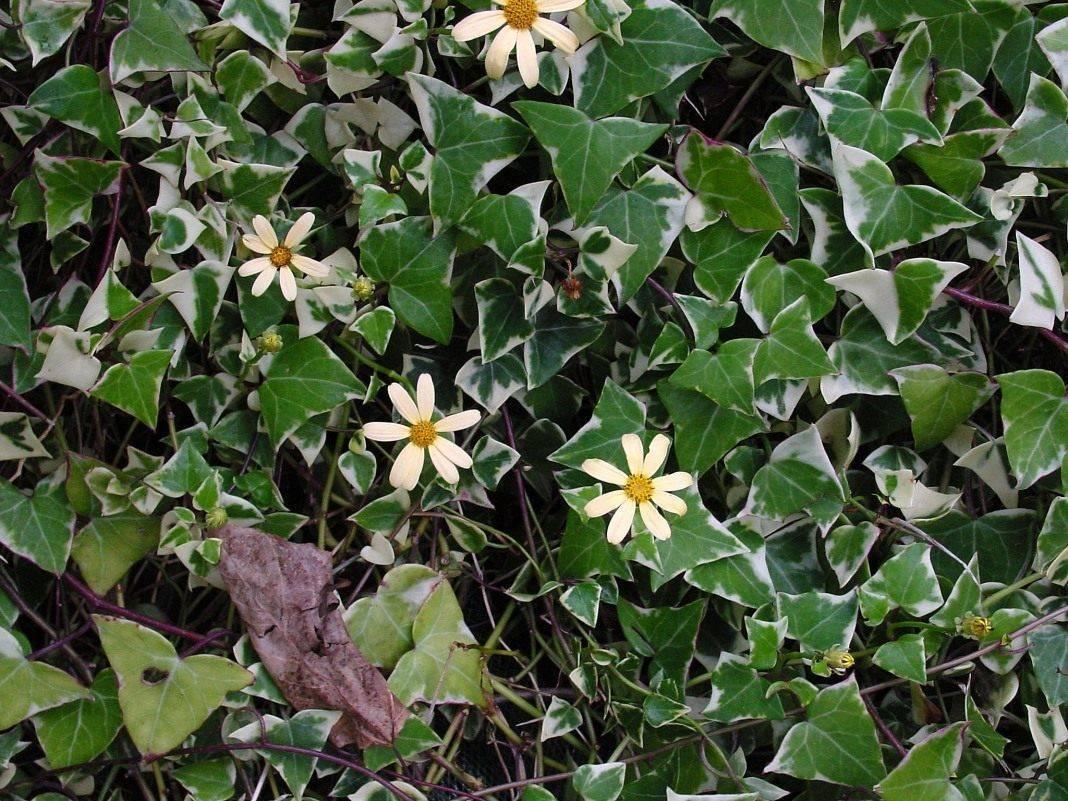 Крестовник роули — зеленый жемчуг
