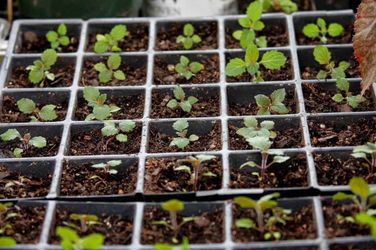 Вербена выращивание из семян в домашних условиях - пошаговое руководство