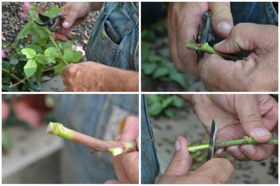 Как размножать розы в домашних условиях: размножение черенками