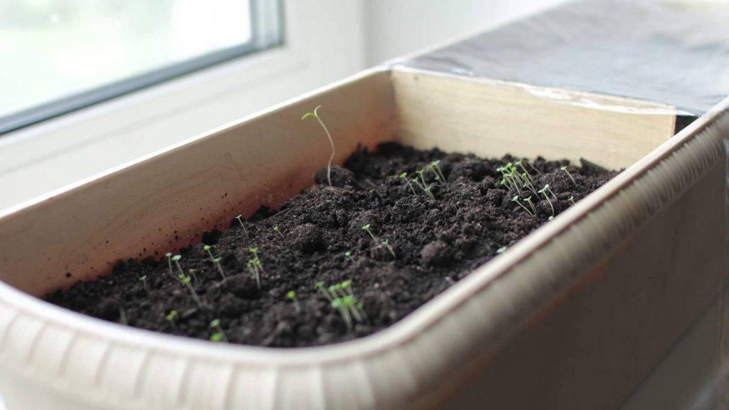 Семена лаванды — как выглядят всходы