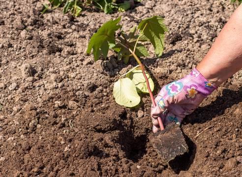 Можно ли выращивать клещевину как комнатное растение