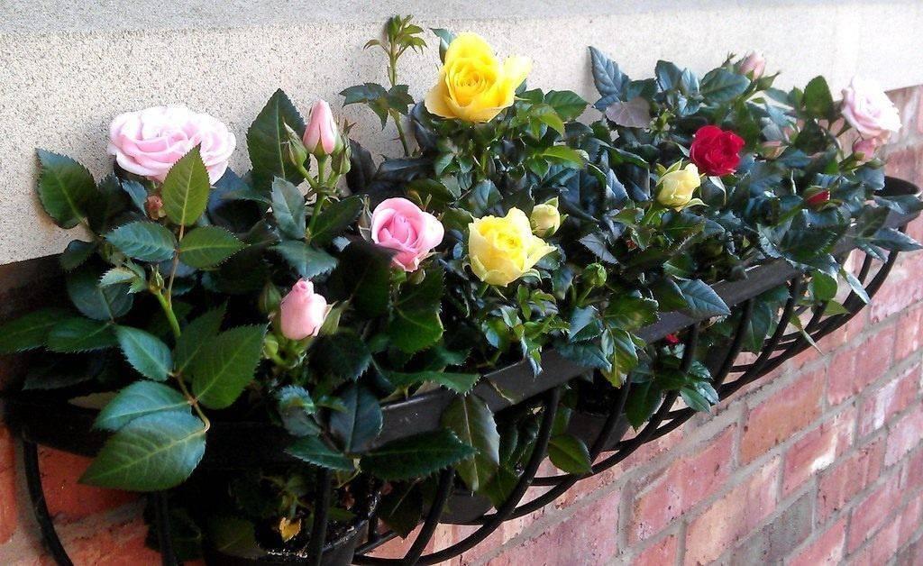 Роза микс — что это за сорт комнатного растения