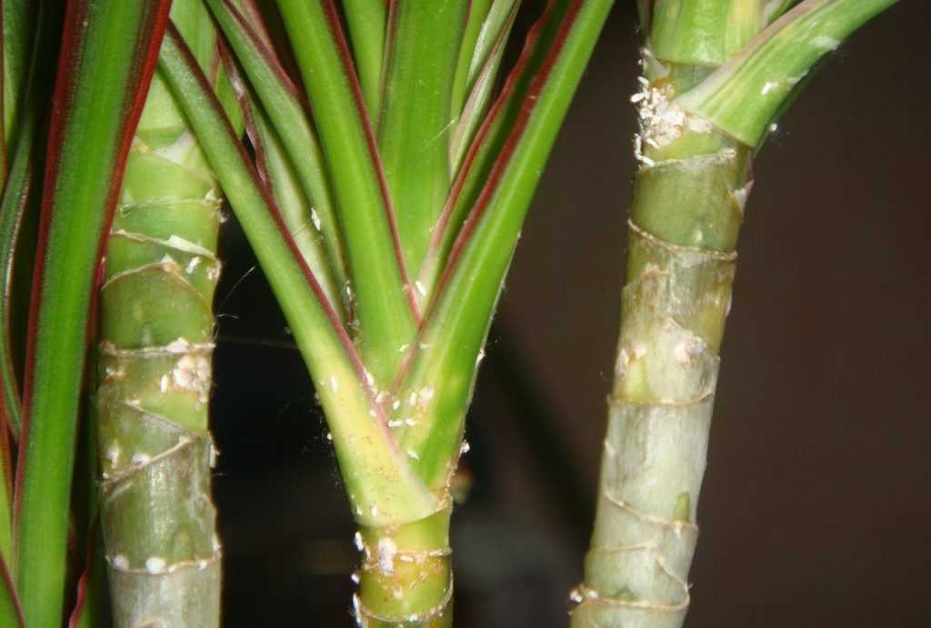 Как правильно обрезать драцену, чтобы получить красивое растение