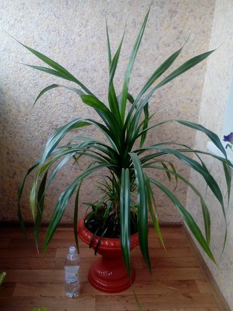 О выращивании пандануса — цветка комнатного с колючими длинными листьями