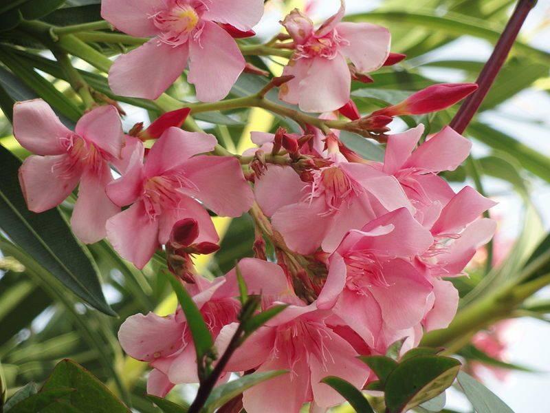 Цветок олеандр — уход в домашних условиях