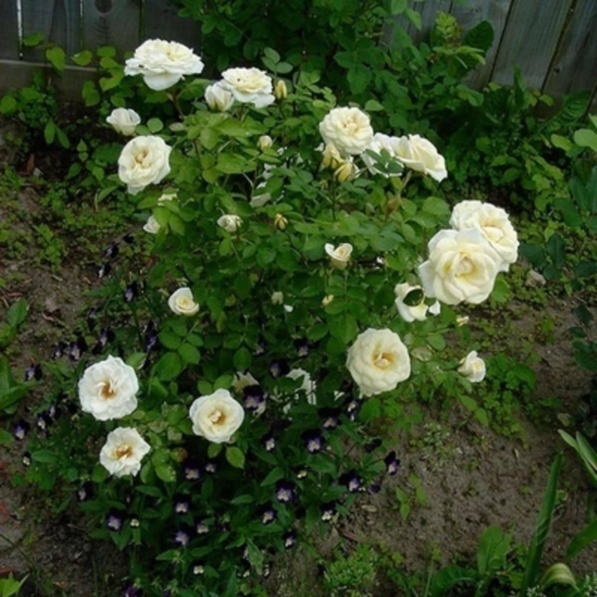 Техника выращивания чайно-гибридной розы мэри энн: посадка и уход за цветком
