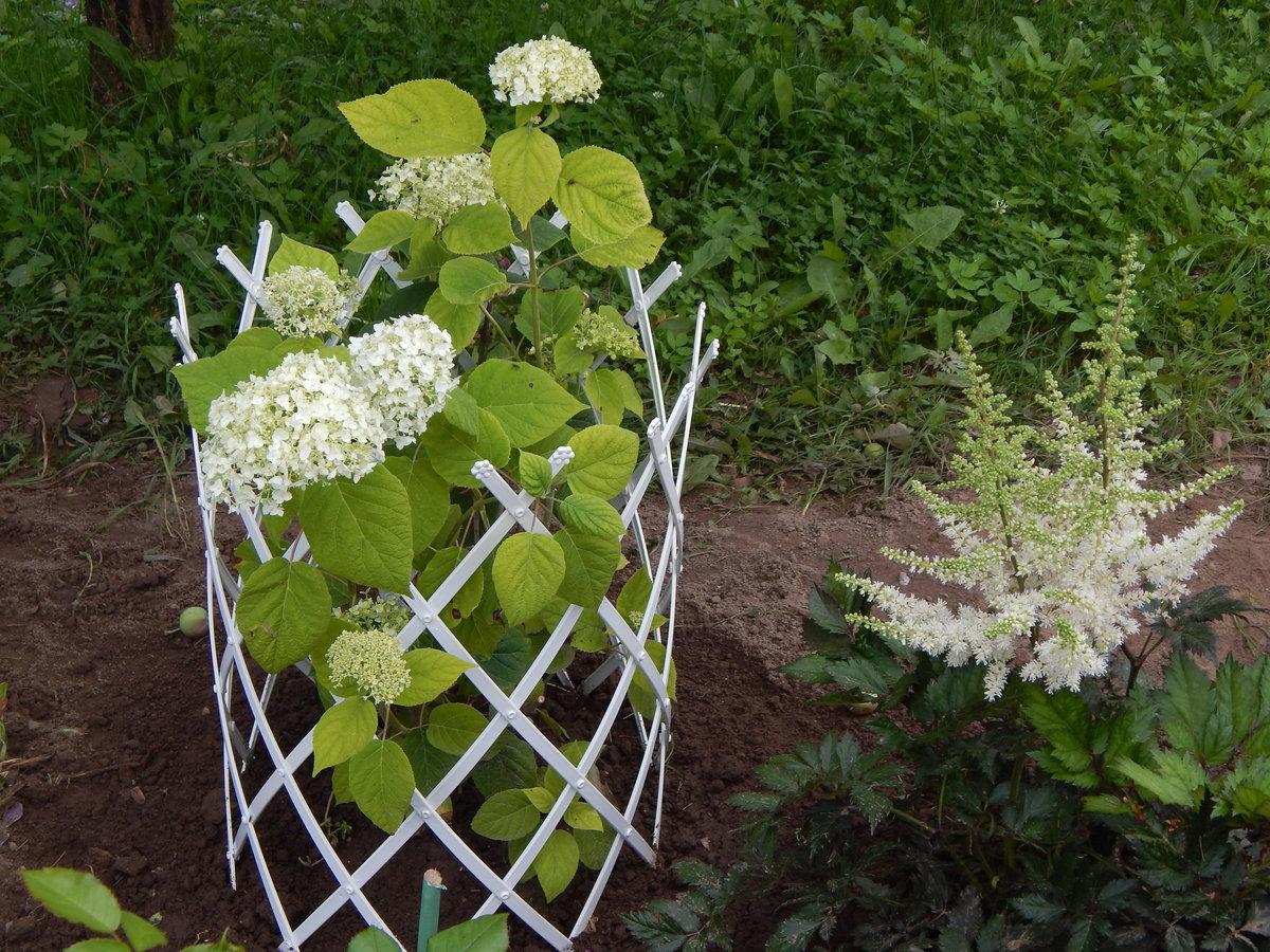 Метельчатая гортензия: какая посадка и уход нужны этой красавице?
