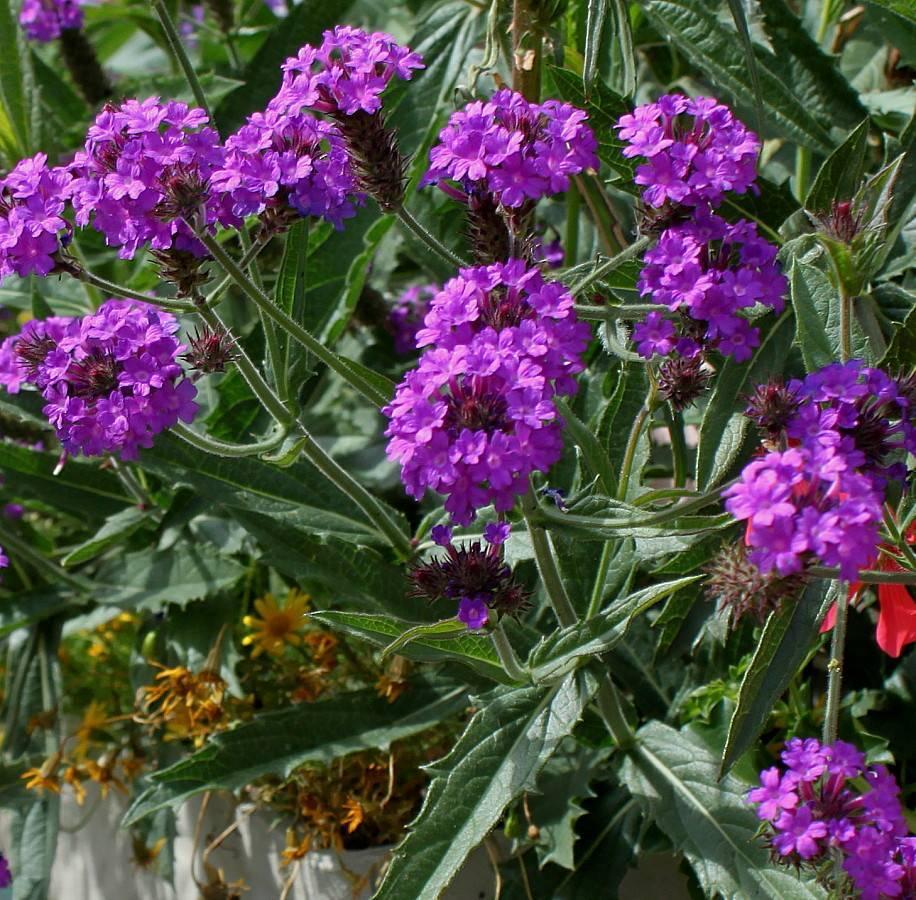 Вербена: выращивание, посадка семян и рассады, уход за цветами