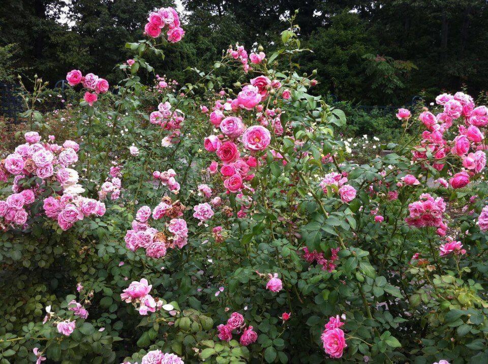 Роза флорибунда goldelse (голдэлс) - описание сорта, преимущества, особенности выращивания | о розе