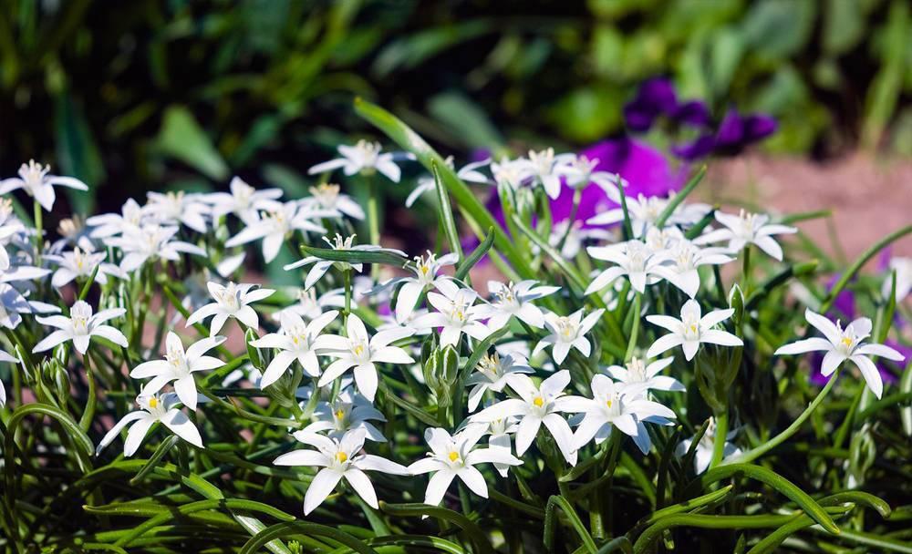 Птицемлечник: посадка и уход за цветком в открытом грунте