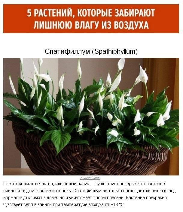 Спатифиллум: уход в домашних условиях, болезни (фото)