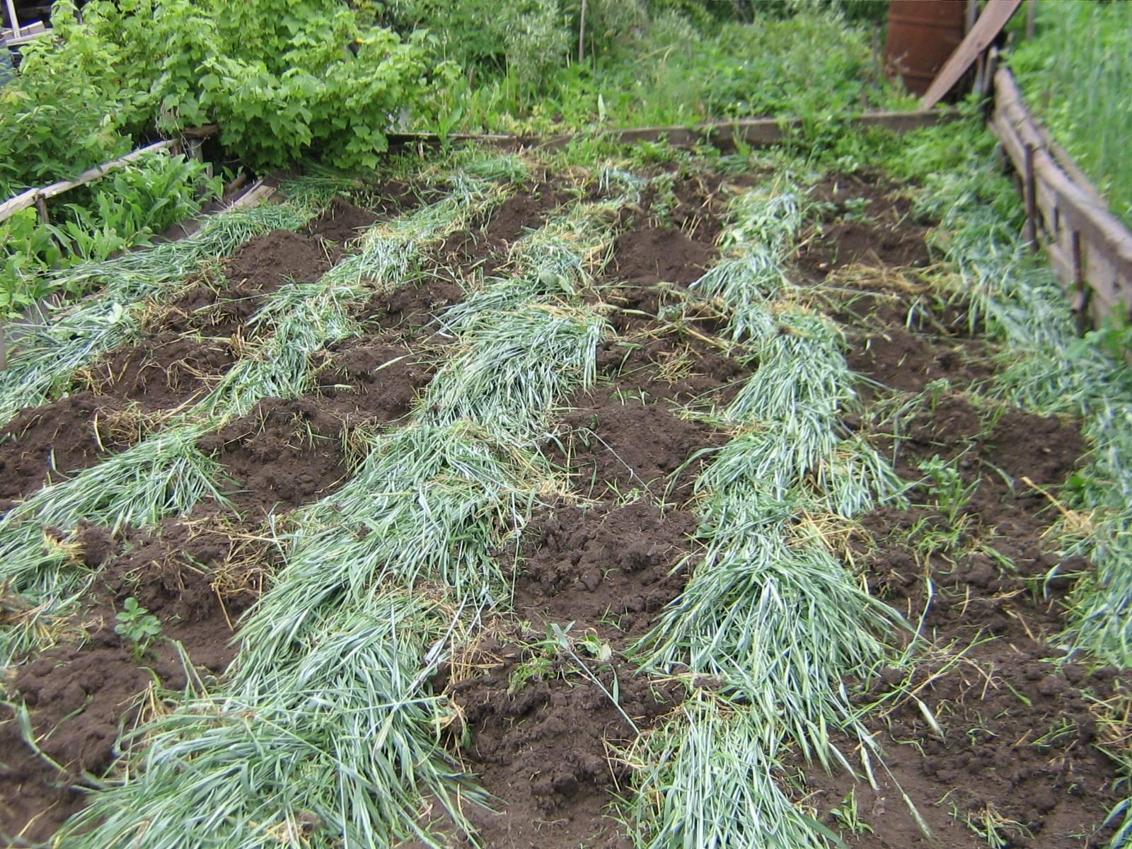 Выращивание люпина однолетнего и узколистного как сидерата