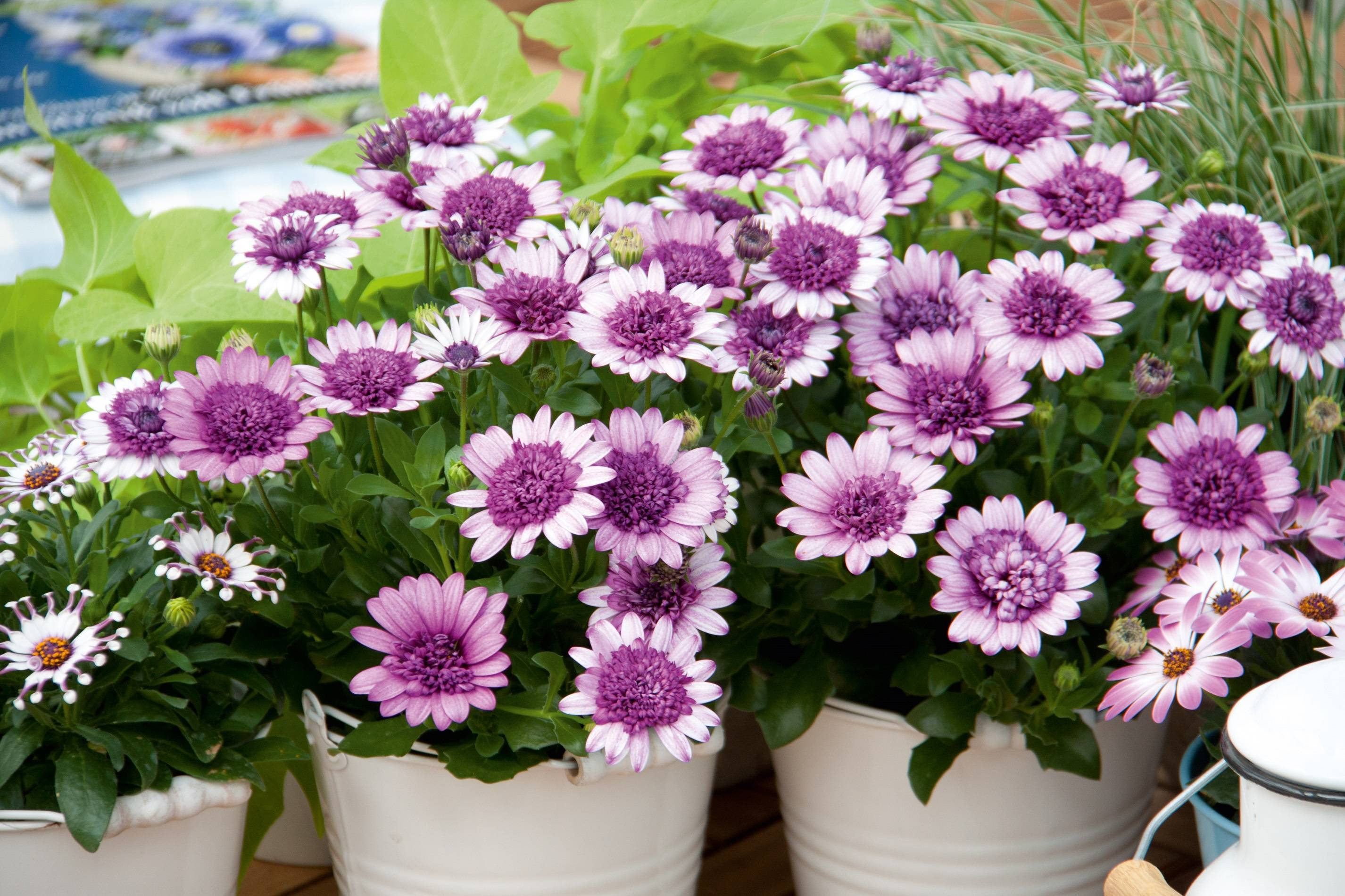 Остеоспермум цветок — разновидности и сорта
