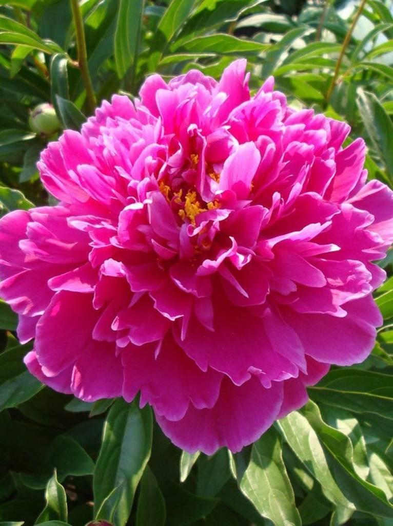 Все о пионе дюшес де немур: описание и характеристики сорта, особенности цветения
