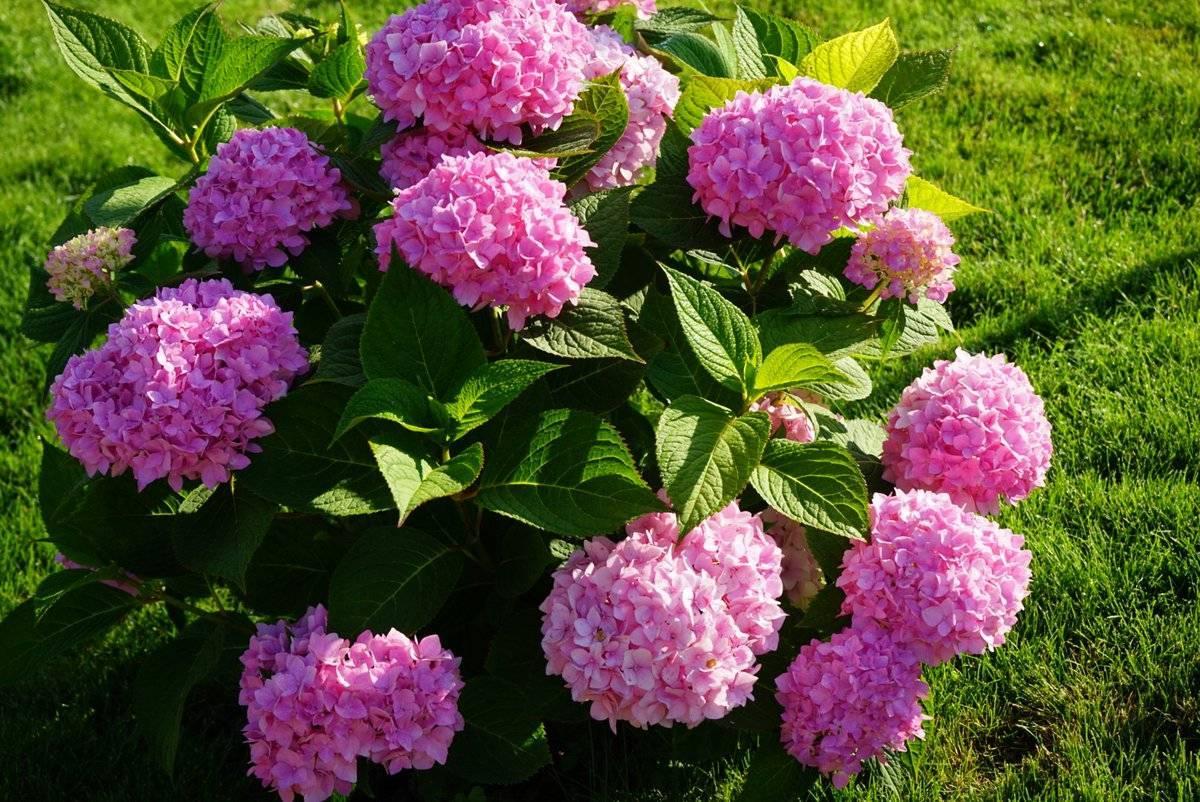 Когда цветет гортензия — период цветения, сколько времени она цветет