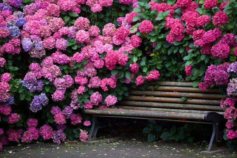 Чем подкормить гортензию весной для пышного цветения в саду