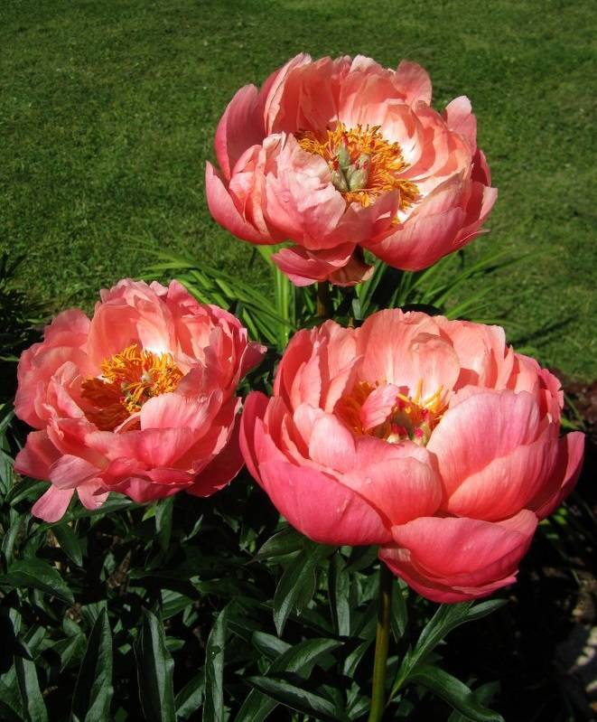 Пион корал сансет (paeonia coral sunset)